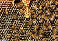 leczenie miodem pszczelim